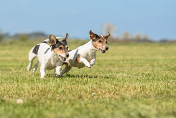 dog racing in the meadow in front of blue sky - Jack Russell Terrier