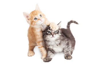 Funny Playful Tabby Kittens on White