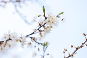 White flowers of apple tree on light blue sky