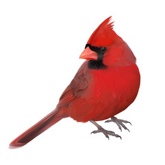 Northern Cardinal portrait.