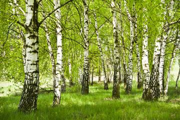 Brzozowy zagajnik wczesną wiosną w pogodny dzień, Młode brzozy z młodymi zielonymi liśćmi w świetle słońca.
