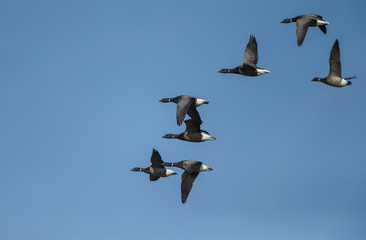 The brant or brent goose (Branta bernicla) is a species of goose of the genus Branta