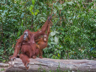 Mama orangutan and her inquisitive child sitting on a log in the jungle of Indonesia (Borneo)