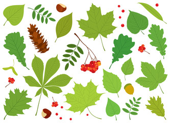 Vector set of different, colourful, isolated tree leaves, Rowan berries, acorn, chestnuts and pine cone on white background.