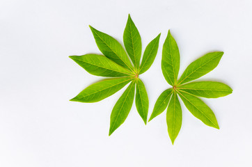 leaf manioc on write background