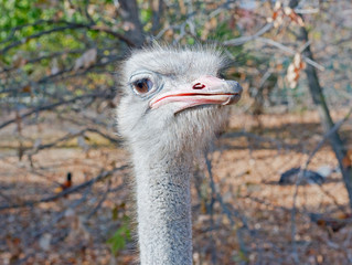 ostrich female head