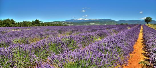 Spoed Fotobehang Lavendel Vue sur le Mont Ventoux depuis un champ de lavandes sur la route de Sault