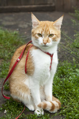 Cute white-red cat in a red collar sitting on the trail of green grass