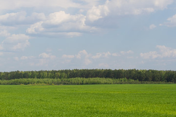Green color grass texture. Field of wheat sprouts, Ukraine