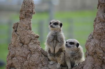 Meerkats standing on a rock