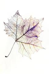 Maple Leaf Drawing