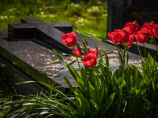 Red tulips and a grave