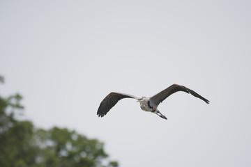 Great Blue Heron Patroling the Rapids