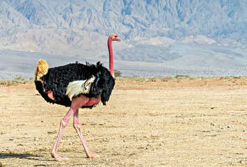 Male of African ostrich (Struthio camelus) in nature reserve near Eilat, Israel