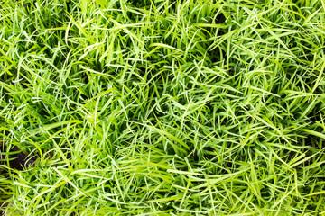 Papiers peints Herbe rice plant