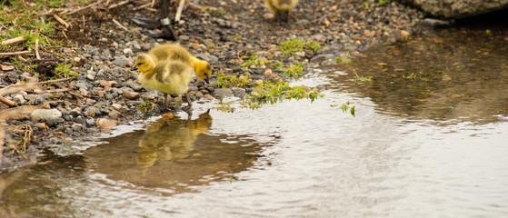 Newborn Chicks Columbia River Drink Eat Shoreline Wild Animals