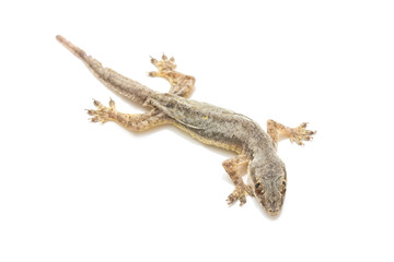 small gecko isolated on white background