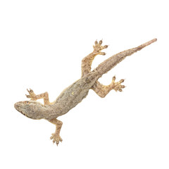 small gecko on white background with clipping path