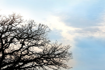 Bare Twisted Oak Tree Branches Silhouetted againt Blue Sky Backg