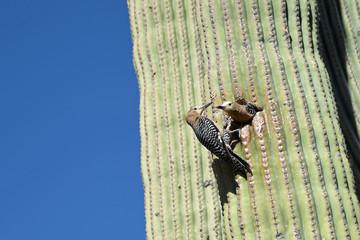 Gilaspecht-Paar (Melanerpes uropygialis) an einem Saguaro-Kaktus