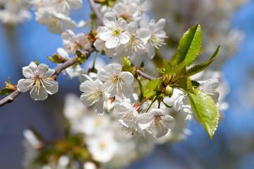 Fototapete - strahlend weiße Kirschblüten am Kirschbaum