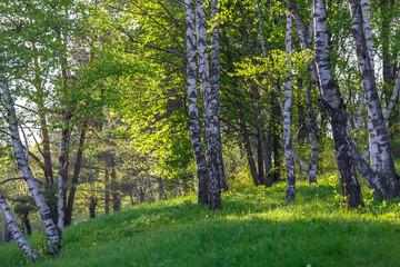 Fototapeta Березы на зеленой поляне весной в лесу