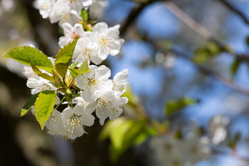 Fototapete - Kirschblüten am Kirschbaum bei schönem Wetter im Mai