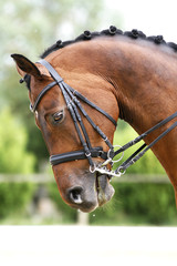 Side view portrait of a bay dressage horse during training outdo