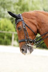 Head shot of a purebred dressage horse outdoors