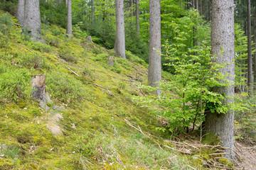 Nachhaltige Forstwirtschaft im Fichtenwald