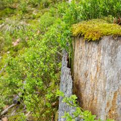 Verwitterter Baumstumpf wird von Heidelbeeren überwuchert