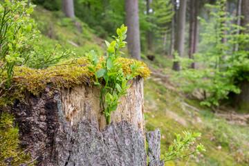 Alter Baumstumpf wird von jungen Pflanzen überwuchert
