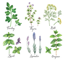 Watercolor vector hand painted set with wild herbs and spices.