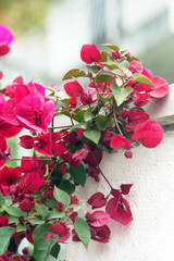 Branch of pink bougainvillea flowers