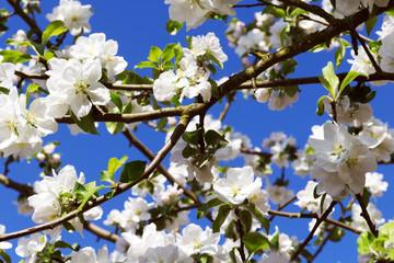 Fototapete - weiße Blüten vom Apfelbaum und blauem Himmel