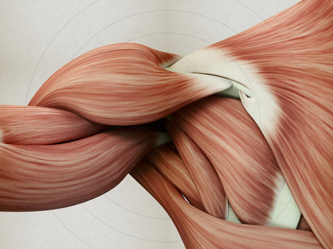 Human anatomy muscle shoulder. 3D illustration.