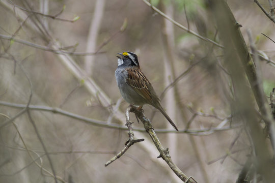 White-throated sparrow songbird singing in the forest
