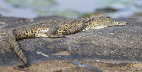 Small crocodile lay on a rock to bake in sun