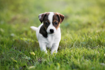 jack russell terrier puppy posing outdoors