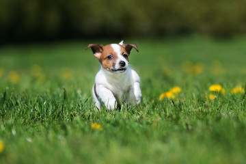 happy jack russell terrier puppy running on grass
