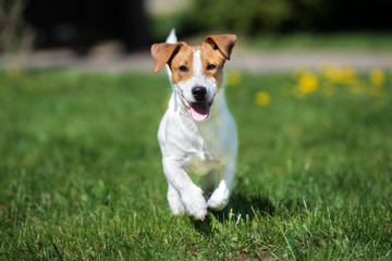 happy jack russell terrier dog running outdoors in summer