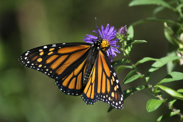 Butterfly 2015-13 / Monarch seen in the wild