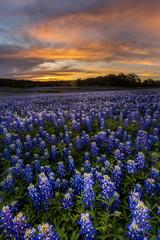 Aluminium Prints Texas Beautiful Texas bluebonnet field in at Muleshoe Bend Recreation
