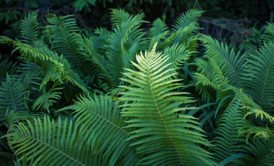 Ferns in a ray of sun