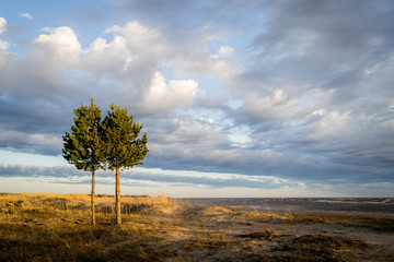 Pine trees on the beach in a windy day