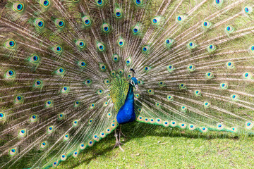 View of a beautiful peacock standing in a zoo