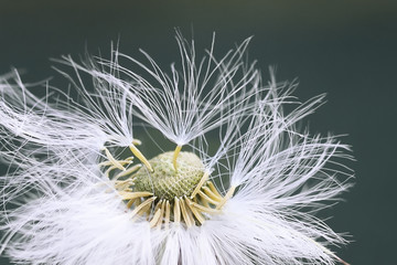 white fluffy dandelion flower in detail