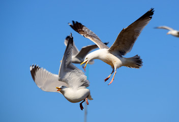 Epic Fight gulls in mid air