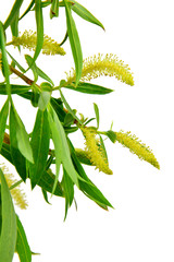 Blooming willow branch isolated on white background. / Without s
