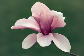 Beautiful magnolia flower